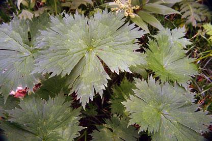 オオレイジンソウの葉  トリカブトに似た形です