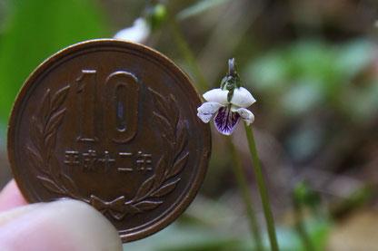 10円玉と比較したら、花の径は約6.7mmだった。普通は10mm位?