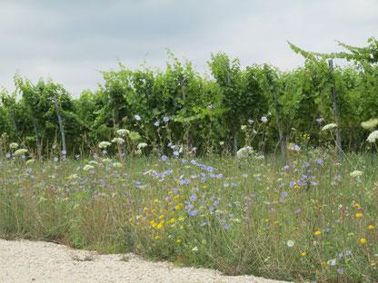 biodiversität im weinberg, weinreben, blumen, bioweinbau