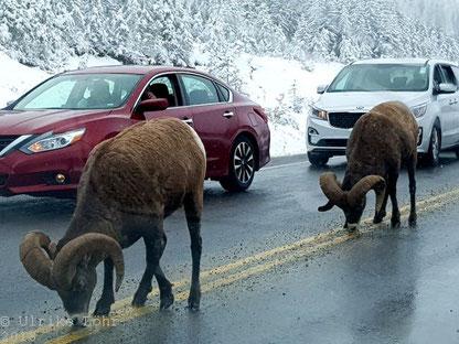 Bighornsheep auf dem Icefields Parkway