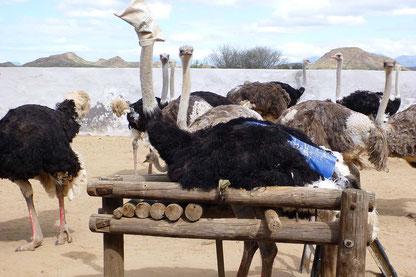Strauss-Suedafrika-P1060570-c-PETA-USA