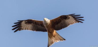 Foto: Fliegender Rotmilan / NABU Olaf Titko