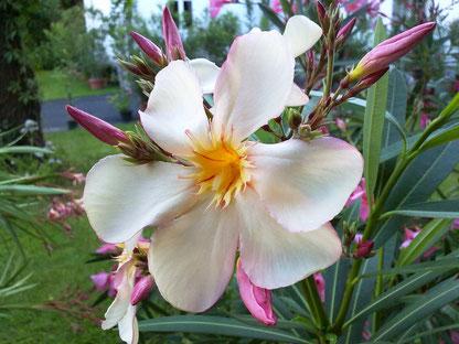 OLEANDER HAUS  Nerium Oleander Dr. Ragioneri