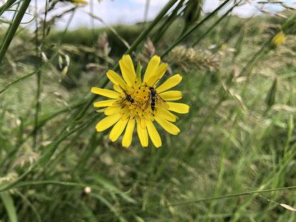 Zwei Pflanzenwespen auf einer großen gelben Blüte