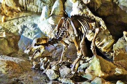 Skelett Höhlenbär in der Bärenhöhle auf der Schwäbischen Alb.