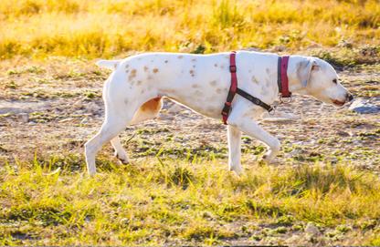 Der Rückensteg liegt auf den Schulterblättern, die Ellbogen scheuern beim Gehen an den Schnallen, der Bruststeg verläuft quer über dem Schulterblatt und verhindert raumgreifende Schritte. Die Verbindung zum Halsband ist unsäglich.