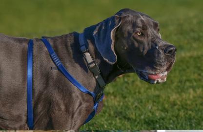 Dieses Gurtband ist definitiv zu schmal und ungeeignet für einen Hund dieser Größe