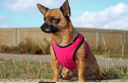 Für kleine Hunde, sind solche T-Shirt-Geschirre ideal, leicht anzuziehen und bequem. Der Druck wird hier über die gesamte Brustpartie verteilt und das Geschirr kann nicht verrutschen.
