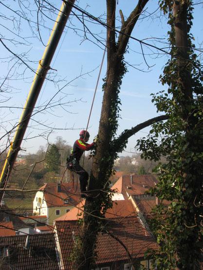 BaumService Lehmer mit Kran am Baum