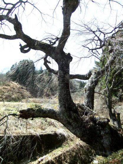 Un cerisier sauvage et vieux de plus de 600 ans (?)