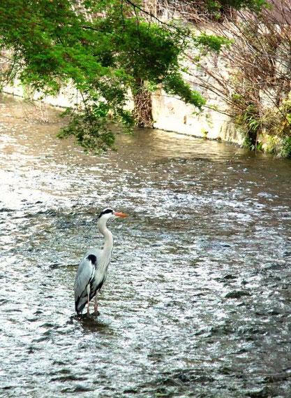 Héron sur le canal Shirakawa
