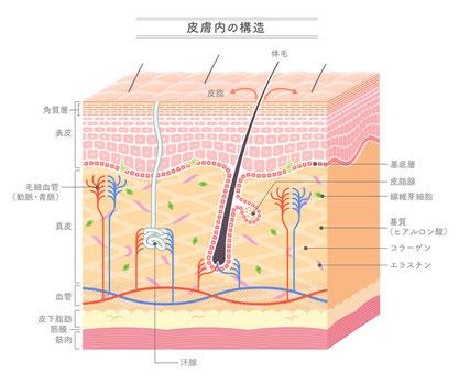 皮膚内の構造