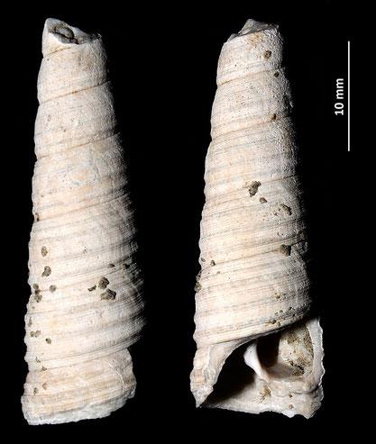 Haustator vermicularis, Marano sul Panaro, Pliocene