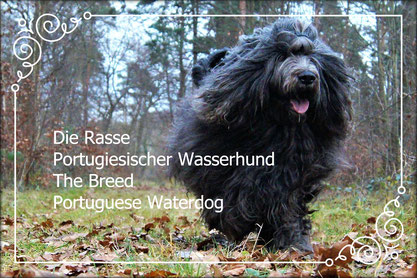 OUTSIDE THE BOX  Rasse Portugiesischer Wasserhund/Breed Portuguese Waterdog  Vet.Ch. Benni Barnabas (Barnabas do Bom-Tempo)