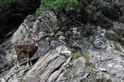 Monflon ♂ (bélier) - Massif du Caroux (34) - 20/04/2013