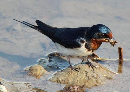 泥をくわえるツバメ-巣作り用とみられる(出典: フリー百科事典『ウィキペディア(Wikipedia)』)