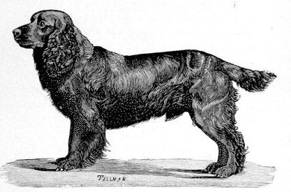 Eine Zeichnung des  American Cocker Spaniel, Ch. Obo II, 1890. (Quelle: https://en.wikipedia.org/wiki/Cocker_Spaniel)