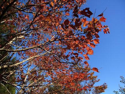 木々の紅葉が青空に映えます