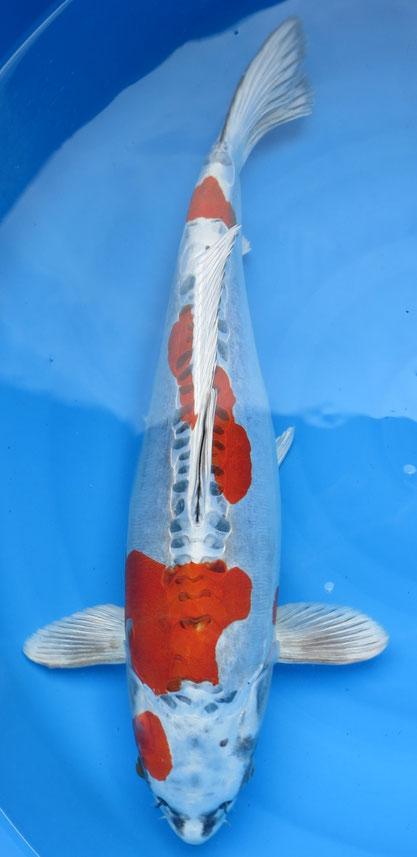 Oofuchi Sansai Beni Kikokuryo, 56 cm, female, Preis 990 Euro