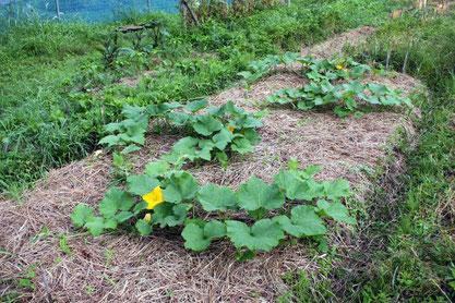 草をたくさん積んだところに苗を寝かせると、その後の成長に勢いがつきます
