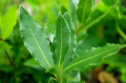 ローレル(月桂樹)