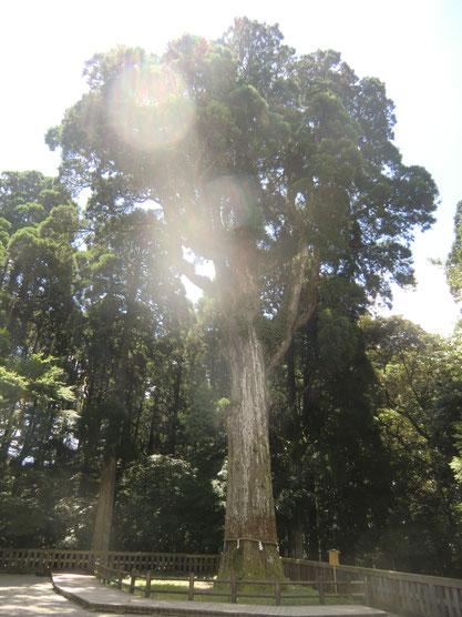 霧島神宮ご神木。身体にストレス物質をため込んでいる人に有効。