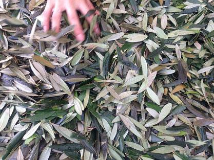 小豆島のオリーブの葉