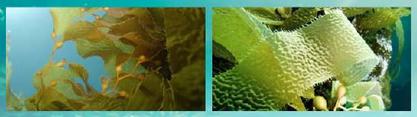 certaines espèces d'algues contiennent plus de vitamine C que les agrumes