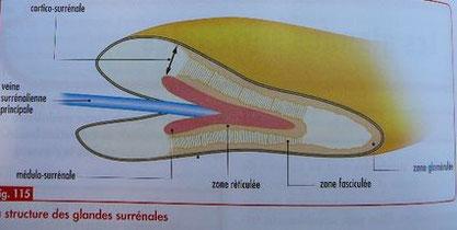 Structure des glandes surrénales