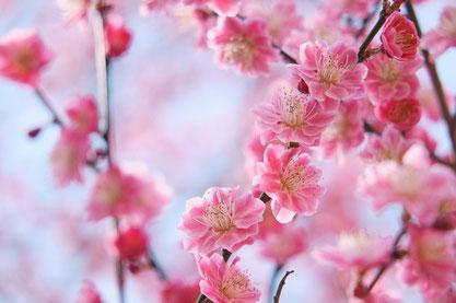 ーもうすぐ立春。梅もこれから見頃にー