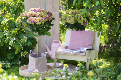 ©Magical Hydrangea, hortensia de jardin, Magical Amtehyst Flowertree