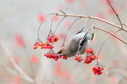Seidenschwanz im Roten Schneeball