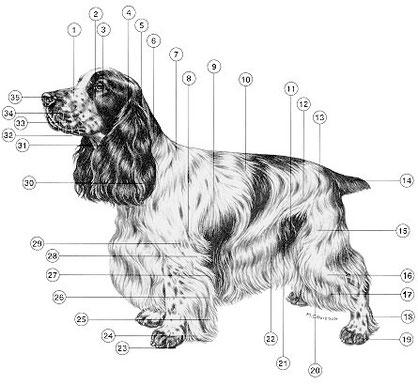 Die Anatomie des Hundes