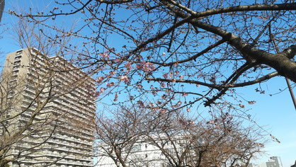 橋本公園 桜