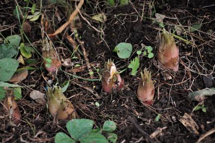 ミョウガ 自然栽培 農業体験 体験農場 野菜作り教室  さとやま農学校