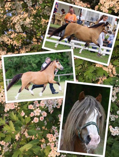 Oostdijk's Ceridwen Maybelline, ster & Oostdijk's Ceridwen Memory, vrl. keur, both are safely scanned in foal by Springbourne Elmer