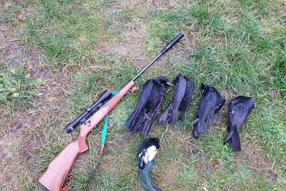 Jagd mit der Kugel / Kleinkaliber auf Krähen