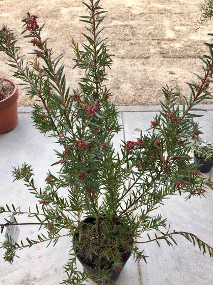 春の植え付けを待つグレビレア、、やっぱオージープランツには華があるな~♪