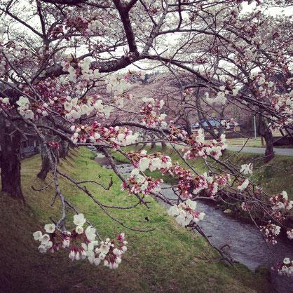 鳴子の桜、只今きれいに咲いております〜^^春の到来とともに、どんどん、山や川辺の色どりが増してきています!