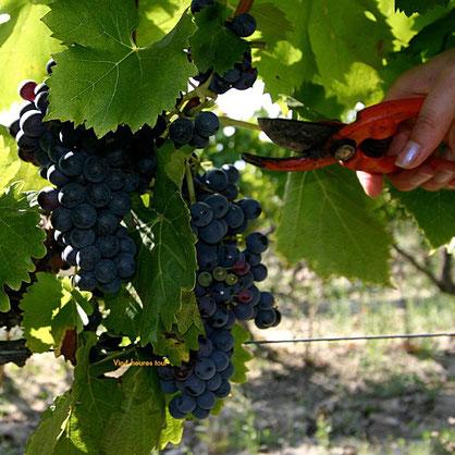 vin, vigne, terroir, dégustation, découverte, oenologie, couleur, robe, vin rouge, cépage, vendanges, passion, domaine, chateau, viticulture, paysages, mnervois, saint jean de minervois, muscat, AOP, IGC,