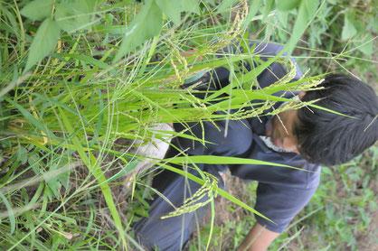 古代赤米 自然栽培 体験農場 農業体験 固定種
