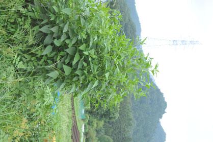 キクイモ 無農薬 自然栽培 体験農場 農業体験