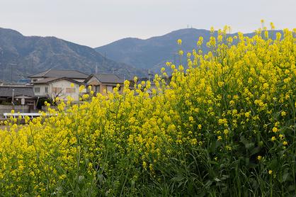 季節の風 2019年5月「菜の花の咲く頃」