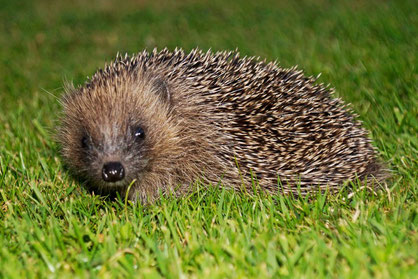 Juvenile hedgehog by David Cooper
