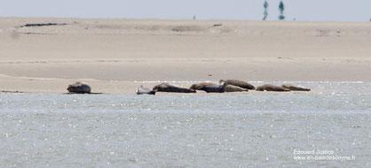 phoques baie de somme, sortie guidée rencontre avec les phoques de la baie de somme