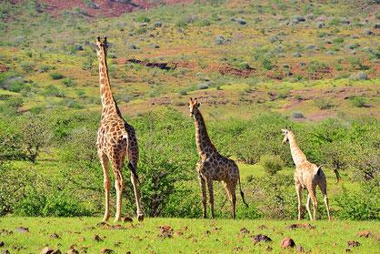 Namibia - Giraffen
