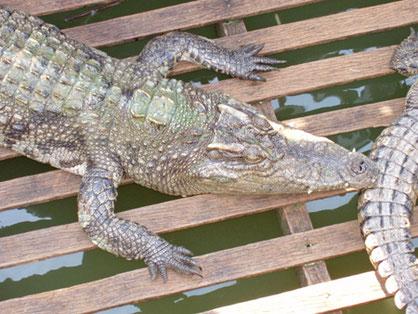 Wlodarek - Krokodil mit dicker Schuppenhaut