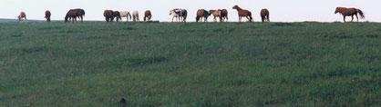 馬の群れ(ヘンティー県1997年8月)
