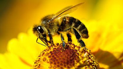 Bienensterben - Biene auf Blume
