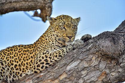 Leopard im Timbavati Game Reserve